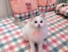 乌鲁木齐宠物 乌鲁木齐哪里的布偶猫较便宜 布偶猫一般卖多少钱