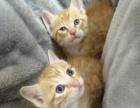 出售家养满月小猫