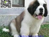 临夏哪里有卖圣伯纳犬 临夏圣伯纳犬多少钱 临夏圣伯纳犬图片