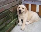 玉溪纯种拉布拉多犬价格,玉溪哪里能买到纯种拉布拉多犬
