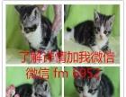 出售美国短毛猫美短加白起司猫英短蓝猫渐层家养