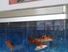 出几条锦鲤鱼