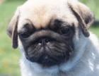 哪里有卖纯种双血统八哥犬纯种的长什么样子