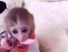 活体袖珍石猴,宠物猴