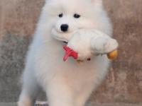 上海出售纯种萨摩耶犬萨摩耶幼犬活体熊版萨摩耶犬萨摩耶犬萨摩