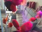 上岸处理财神鹦鹉鱼