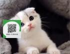 天津哪里有宠物店 天津哪里卖宠物猫便宜 天津折耳猫价格