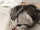 美短幼猫,刚睁眼