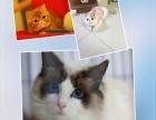 家庭繁殖高品质猫咪 台州玉环