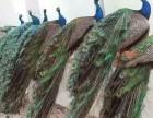 孔雀苗价格多少钱一只湖北哪里有卖孔雀苗的场子