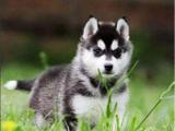 犬舍直销 蓝眼睛 三把火 哈士奇