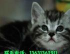 出售家养头大脸圆折耳蓝猫 温顺粘人健康保障欢迎上