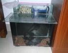 带一个使用中的鱼缸出条十三厘米高背对称长明四纹虎