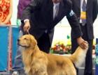广州哪里有卖金毛犬 金毛犬多少钱