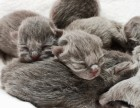 刚出生小蓝猫预订