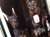 哪里有纯种杜宾狗狗卖 杜宾犬舍繁殖 疫苗驱虫做齐