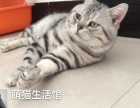 太原萌猫生活馆--专业繁育英短蓝猫、美短虎斑