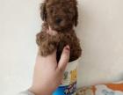 出售可爱泰迪犬