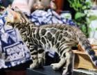出售自家母猫生的孟加拉豹猫弟弟