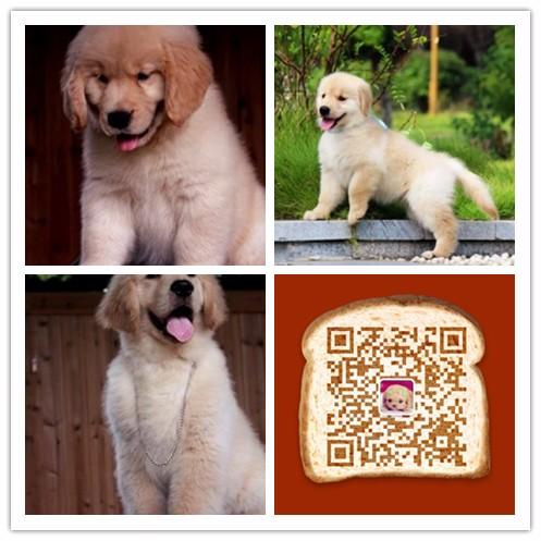 杭州出售纯种金毛幼犬,包健康签协议