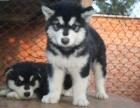 上海本地出售阿拉斯加幼犬,品质健康有保障,签订协议
