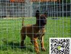盐城纯种比利时牧羊犬多少钱 纯种马犬图片 纯种比利时马犬幼犬