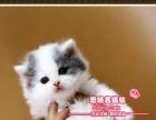 超呆萌的漂亮的蓝白高地小美女-思晴名猫坊