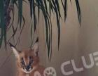 【喵吧宠物猫】高品质布偶猫缅因猫,代购薮猫狞猫