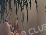 喵吧宠物猫 高品质布偶猫缅因猫,代购薮猫狞猫