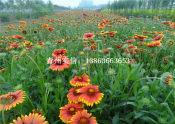 想买新品宿根天人菊,就到实信花卉苗木 ——天人菊种植基地