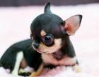 小吉娃娃宝宝 随时看狗 多窝选择 疫苗齐全