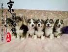 宿州哪里有卖纯种柯基犬的