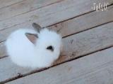 各种可爱宠物兔转让