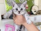 英短银渐层小猫出售