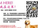 美系金毛、纯种健康、特价优惠,买狗送狗证 签协议