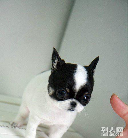是非常罕见的黑白花吉娃娃,花色均匀牙齿雪白体型小巧