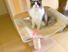 西安宠物 西安哪里的布偶猫较便宜 纯种布偶猫一般卖多少钱一只