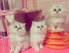 北京专业繁育 高品质 金吉拉猫 签协议 三针齐全