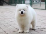 萨摩耶犬舍出售顶级微笑天使澳版大毛量萨摩耶幼犬