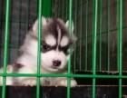 犬舍繁殖哈士奇宝宝出售,急,价不高要的快来!