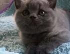 昆明纯种蓝猫大概多少钱一只 在昆明什么地方能买到纯种蓝猫