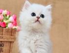 猫舍直销人见人爱的纯种金吉拉-猫中贵族异国长毛猫金吉拉