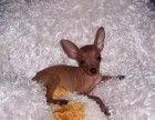 昆明 售自家繁殖2-4个月小鹿犬 疫苗齐全包纯种包健康
