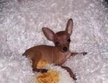 小鹿犬三个月 驱虫疫苗已做完 购买签订活体协议