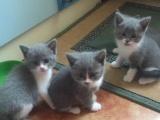 家养蓝猫宝宝只卖好心人