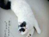 高品质净樊加菲猫出售