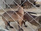 出售马犬 德国牧羊犬 黑狼犬 格力犬