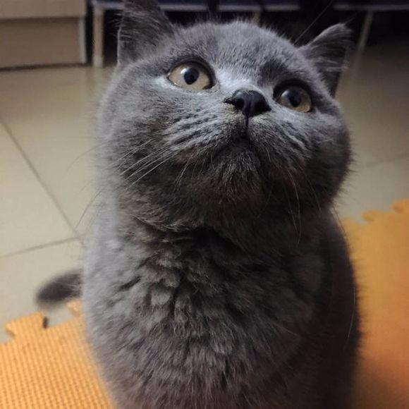 西安蓝猫怎么卖的 西安哪里有健康的蓝猫出售 蓝猫照片