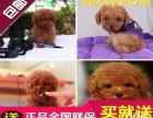 武汉地区出售赛级泰迪熊犬/公母齐全/包建康三年/签售后