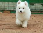 上海出售纯种萨摩耶微笑天使萨摩耶幼犬澳版熊版萨摩耶